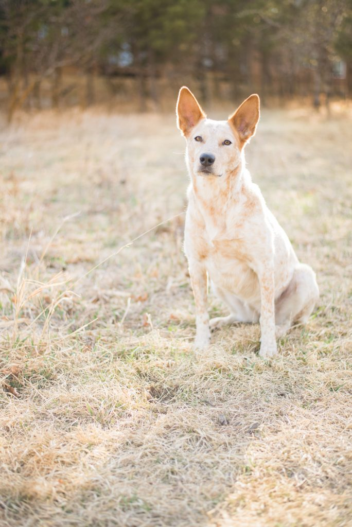 Red heeler with beautiful coloring, red heeler, colorado red heeler, colorado heelers, heelers in colorado, cute heeler, heeler with big ears